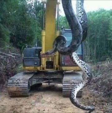 Giant anaconda found in Brazillian building site.